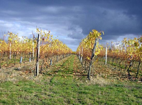 montreuil-2008-10-27-vignes-ac.jpg